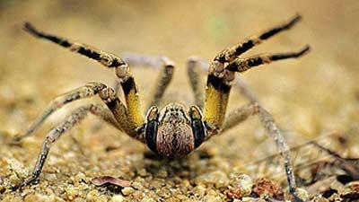 brazilian_wandering_spider