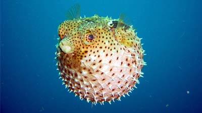 fugu_fish