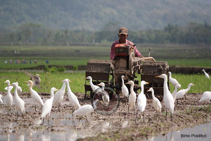 Desa Wisata Ketingen Rumah Para Burung Kuntul