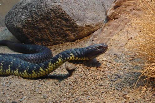 Tiger-snake