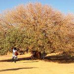 Amati Pohon-Pohon Paling Bersejarah di Muka Bumi Ini