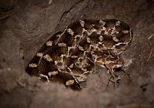ular viper