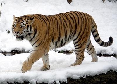 foto-harimau-siberia