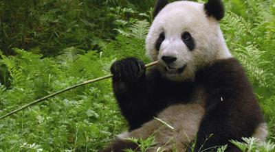 panda-raksasa