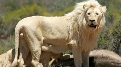 singa-putih