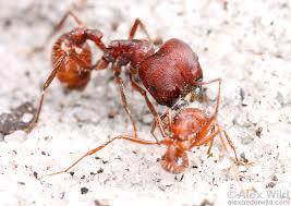 florida-harvester-ant