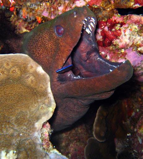 belut-moray
