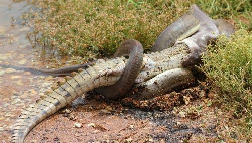 ular-di-kalimantan-makan-buaya