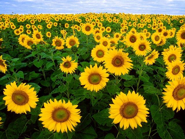 FIlosofi bunga matahari persatuan