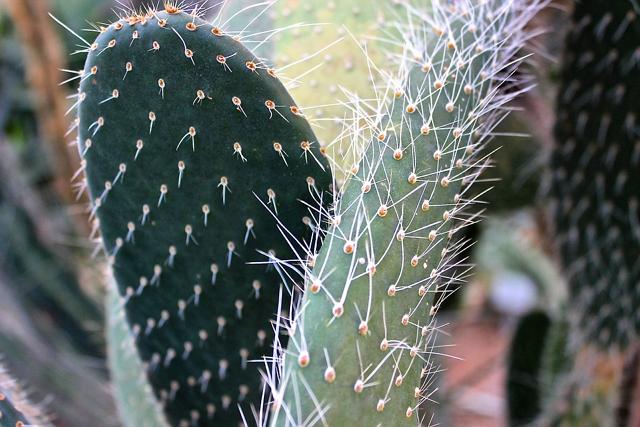 Filosofi Kaktus Kuat