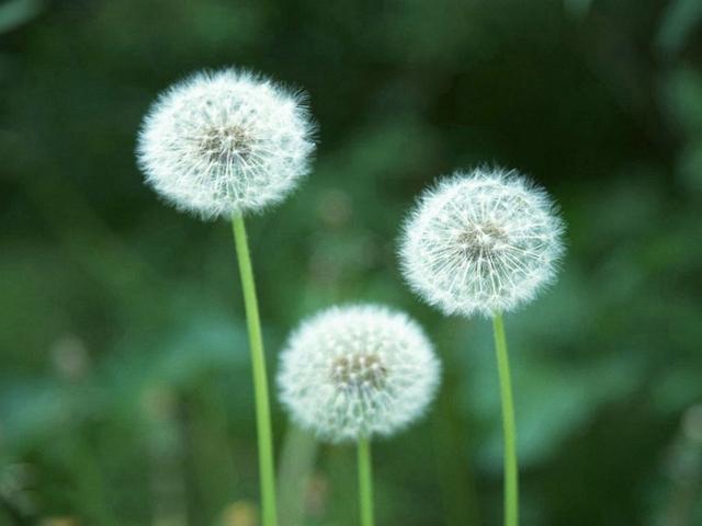 Filosofi bunga dandelion adaptasi