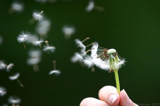 Filosofi bunga dandelion kuat