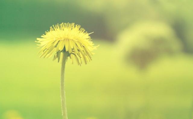 Filosofi bunga dandelion mandiri