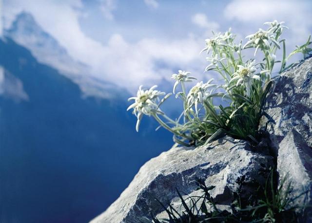 Filosofi bunga edelweis perjuangan