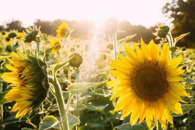 Filosofi bunga matahari patuh