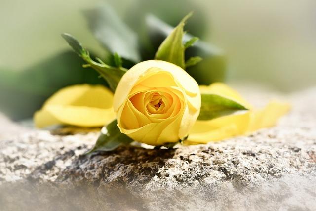 Filosofi bunga mawar kuning