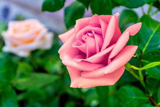 Filosofi bunga mawar pink