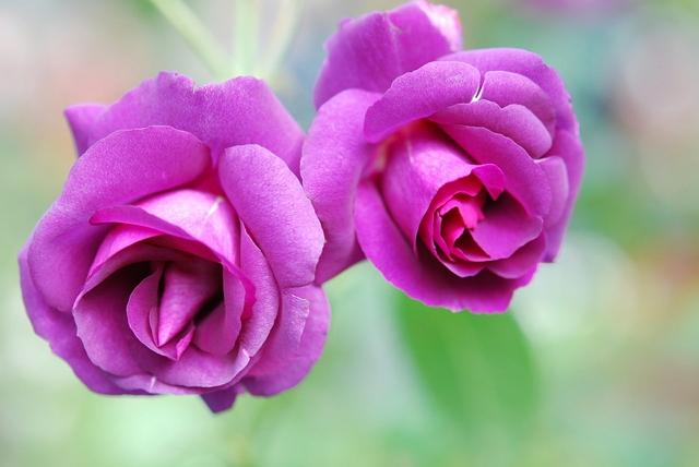 Filosofi bunga mawar ungu