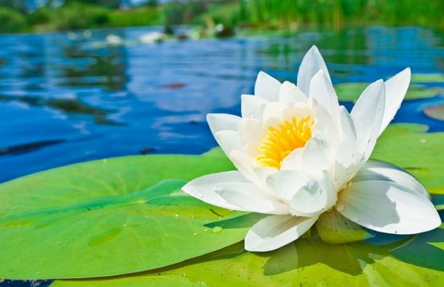 Filosofi bunga teratai