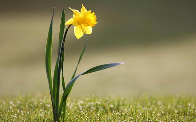 Filosofi Bunga Daffodil