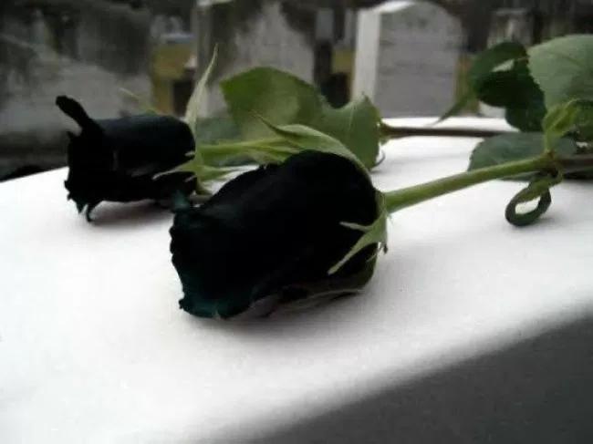 filosofi bunga mawar hitam