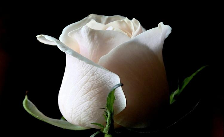 Filosofi bunga mawar putih