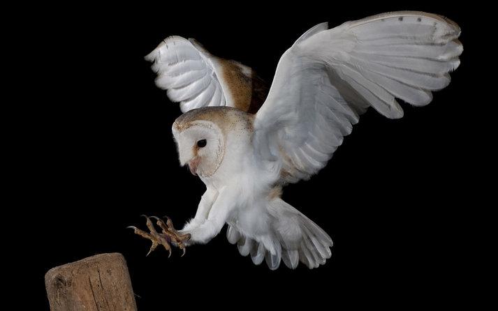 sifat burung hantu