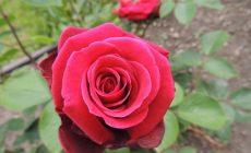 Permalink to Ini 7 Filosofi Bunga Mawar Berdasarkan Warnanya yang Merona