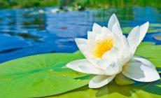 Permalink to 5 Filosofi Bunga Teratai Ini Ingatkan Kita untuk Hidup Sederhana