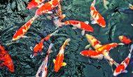 Permalink to 4 Filosofi Ikan Koi, Si Perlambang Keberuntungan