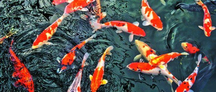 4 Filosofi Ikan Koi, Si Perlambang Keberuntungan