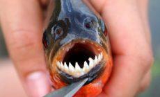 Permalink to Hayooo Siapa Mau Makan Ikan Bertampang Serem Ini. Idih Gak Mimpi, Iya kan?
