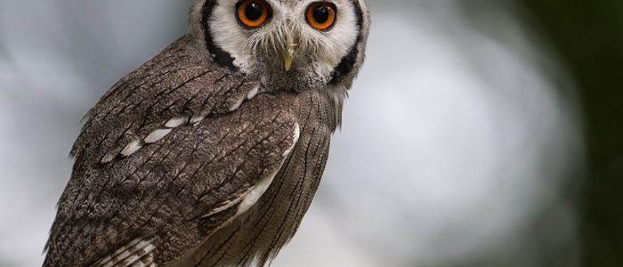 Tak Melulu Seram, 5 Sifat Burung Hantu Ini Patut Kita Teladani